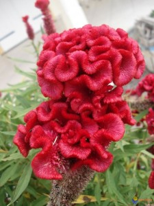 Red Celosias